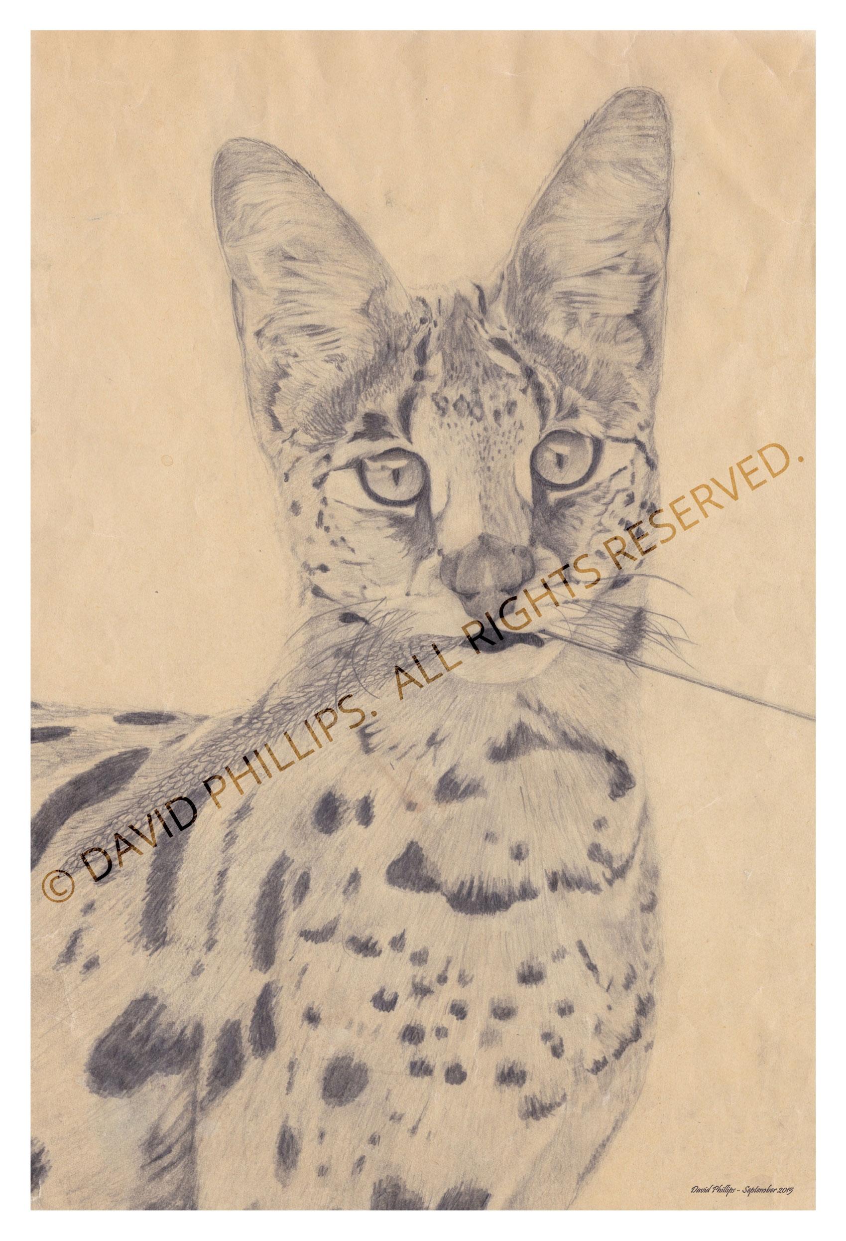 sketch of wild cat