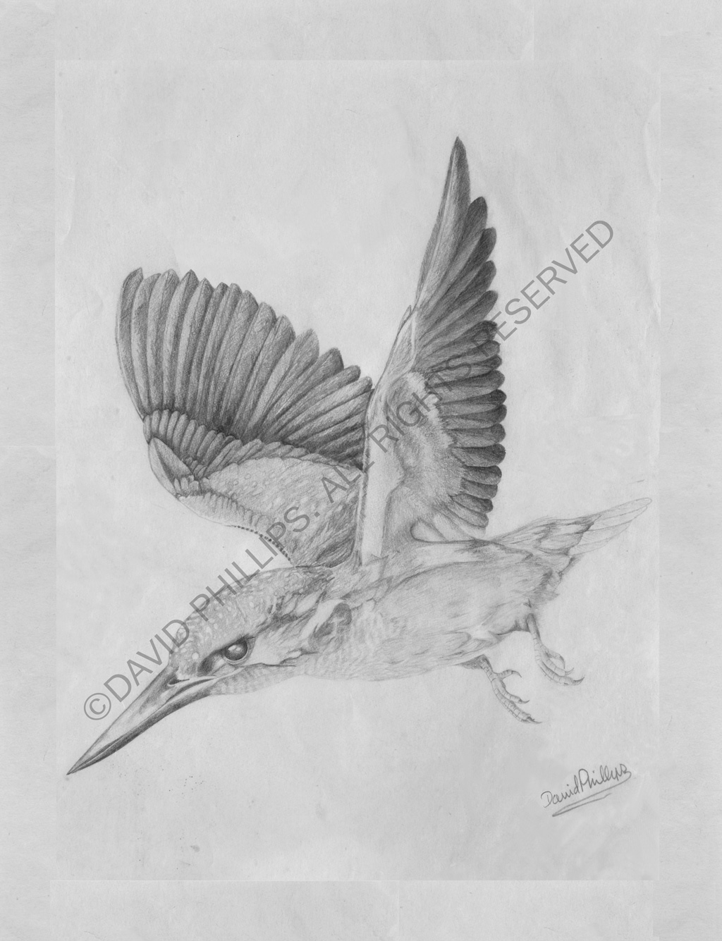 King Fisher Sketch
