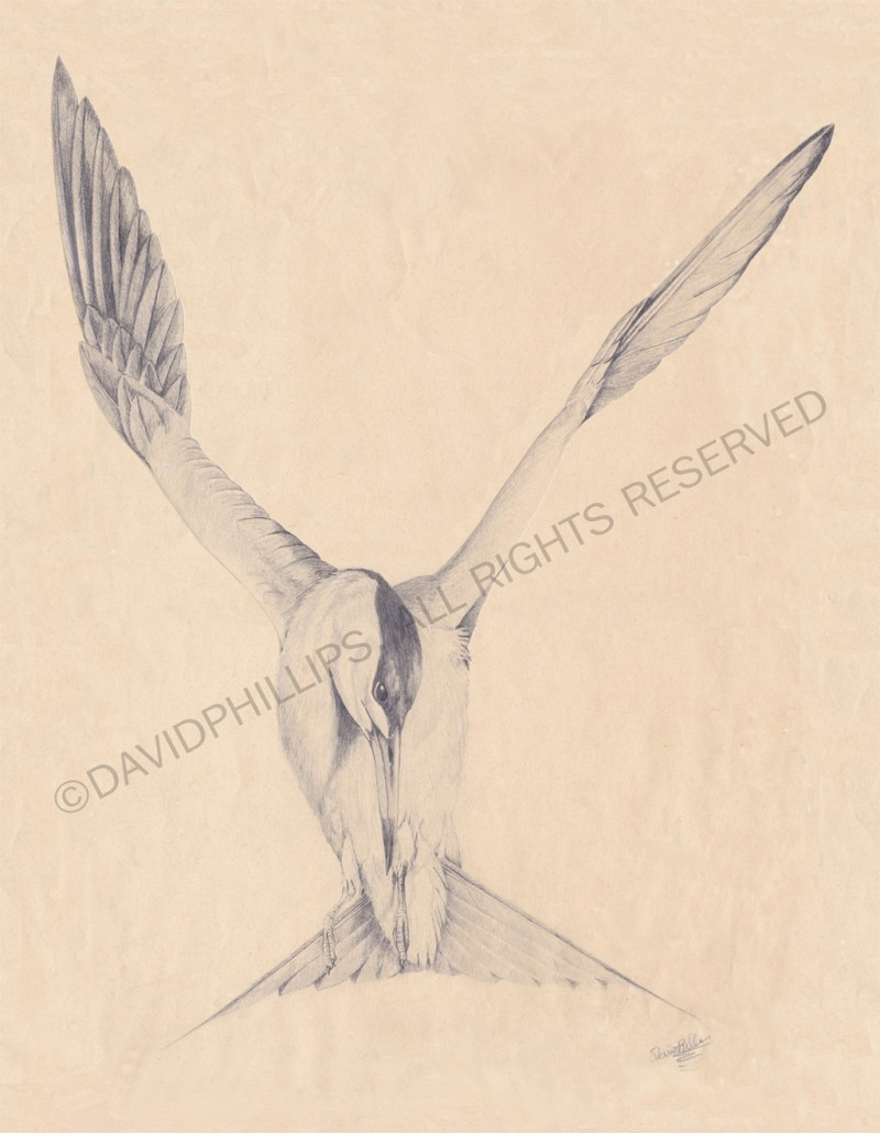 Sea bird sketch